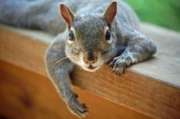 peskysquirrel